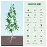 Industrial hemp uses and products. Industrial hemp cultivation, products and uses, vector infographic with icons vector illustration