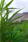 Industrial hemp or Marijuana plant in colorado stock photography