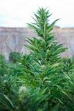 Industrial hemp or Marijuana plant in colorado. Industrial hemp or marijuana plant growing in front of the Bookcliffs in Palisade Colorado stock photo