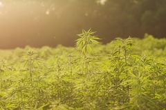Industrial hemp plantation. Ecologic hemp or cannabis industrial plantation in the countryside royalty free stock photography