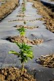 Industrial hemp seedling field stock image