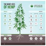 Industrial hemp uses and products. Industrial hemp cultivation, products and uses, vector infographic with icons stock illustration