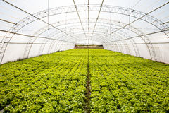 Industrial lettuces cultivation Stock Images