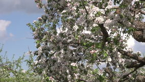 Industrial orchard garden with blossoming apple tree stock video footage