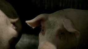 Industrial Pig Farm stock video footage