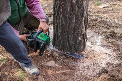 Industrial pine sawing by loggers using a chainsaw. Industrial sawing of pine by lumberjacks with chainsaw, collective work stock images
