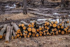 Industrial planned deforestation in spring, fresh alder lies on the ground among the stumps stock photography