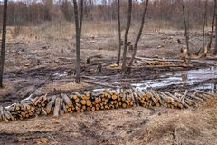Industrial planned deforestation in spring, fresh alder lies on the ground among the stumps stock image