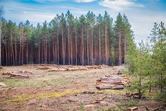 Industrial planned deforestation in spring, fresh green pine lies on the ground amid stumps royalty free stock photography