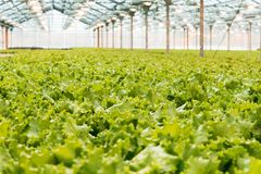 Industrial production of lettuce and greens. Closed light large greenhouse royalty free stock photo