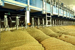 Industrial production of malt. A huge vat. Of malt. Germination of wheat. Drying oats. Barley sprouts Stock Images