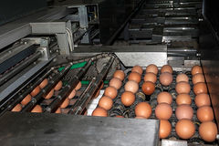 Industrial transport lines for eggs Stock Image