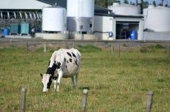 Industrie laitière du Nouvelle-Zélande Image stock