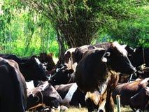 Industrie laitière pour apporter le lait/consommation en Thaïlande Photos libres de droits