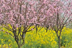 Industrie pêche et de fleur-fleur et de jeune plante roses de prune Photographie stock libre de droits