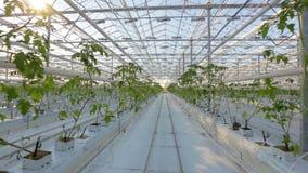 Industriella växthus, många rader av gröna växter arkivfilmer