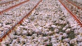 Industrielle Industrieproduktion des essbaren Eies stock video