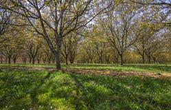 Industrielle Landwirtschaft: Pfirsichbaumplantage in Piemonte, Italien Stockfoto