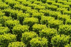 Industrielles Wachstum des gemeißelten grünen Buxus Lizenzfreie Stockfotos