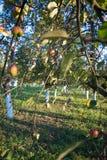 Industriellt jordbruk: koloni för persikaträd i Piemonte, Italien Royaltyfria Foton