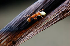 A small and red ant Stock Images