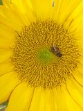 An industrious bees and sunflowers Royalty Free Stock Photo