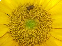 An industrious bees and sunflowers Stock Photos