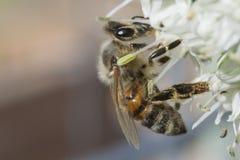 Industrious Honeybee on Leek Flower. Busy little bee gathering pollen from a leek flower Stock Photo