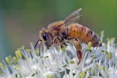 Bee on leek flower. A bee gathering pollen and dew from a leek flower Royalty Free Stock Image