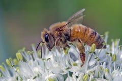 Industrious Honeybee na Leek kwiacie Obraz Royalty Free