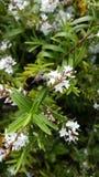 Industrious pszczoła na kwiacie Fotografia Royalty Free