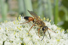 Industrious Wasp on Leek Flower. Wasp resting on a leek flower Stock Image