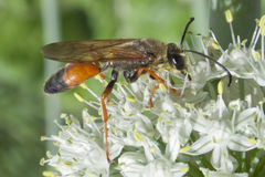 Industrious Wasp on Leek Flower. Wasp resting on a leek flower Royalty Free Stock Photo