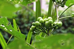 Indycza jagoda lub groch oberżyna Obraz Stock
