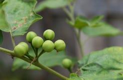 indycza jagoda na drzewie obrazy royalty free