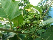 Indycza jagoda, Solanum torvum, Grochowa oberżyny wiązka zdjęcia stock