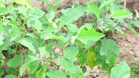Indycza jagoda (Solanum torvum) ziele, traktowanie hyperactivity, zimna, kasłanie, krosty, skór choroby i trąd, zdjęcie wideo