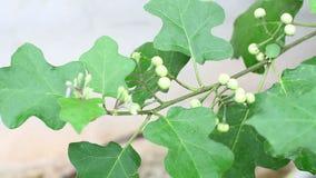 Indycza jagoda (Solanum torvum) ziele, traktowanie hyperactivity, zimna, kasłanie, krosty, skór choroby i trąd, zbiory