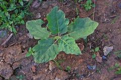 Indycza jagodowa rośliny rozsada zdjęcie royalty free