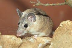Indycza spiny mysz obraz stock
