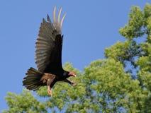 Indyczego sępa latanie z otwartymi skrzydłami Zdjęcia Royalty Free