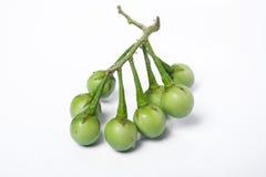 Indyczy jagodowy Solanum torvum Sw Na białym tle selekcyjny Obraz Stock