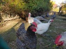 Indyczy kurczaka pawia gospodarstwa rolnego ptaki Obraz Stock