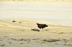 Indyczy sęp Fotografia Royalty Free