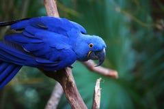 Indygowego błękita ara na gałąź Fotografia Royalty Free