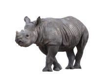 indyjska nosorożec Obrazy Royalty Free