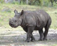 indyjska nosorożec Zdjęcie Stock
