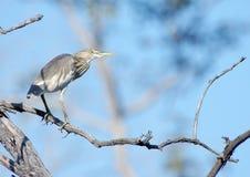 indyjski heron staw Zdjęcie Stock