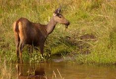indyjski jeleni sambar fotografia stock