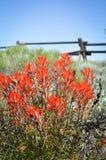 indyjski kwiatu paintbrush s Wyoming Zdjęcia Royalty Free